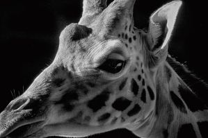 Giraffe by woody1981