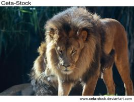 Lion 5 by Ceta-Stock