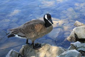 Canadian Goose by paradox11-stock