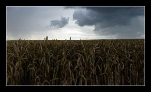 Wheat fields before storm by karel