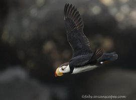Horned Puffin flight by FForns