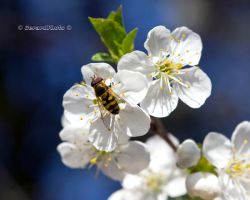 Cherry blossom with hoverfly by GerardPhoto