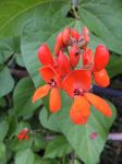 Dad's runner beans by Gwitha-Kathes