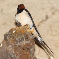 Beautiful barn swallow by Jorapache