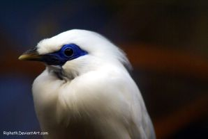 Bali Mynah Bird by Riphath