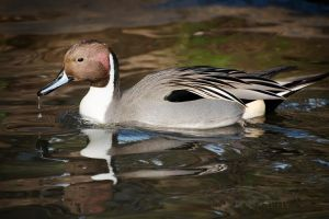 Northern Pintail II by DeniseSoden