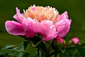 Wet Peony by muffet1