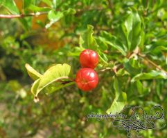 small pomegranate by aNaLoNeLy