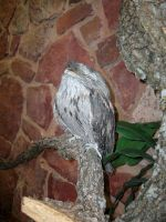 Tawny Frogmouth 1 by TheBuggiest