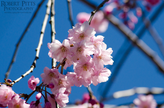 Weeping Cherry Tree by Busted11290