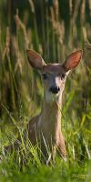 fawn in grass by DGAnder