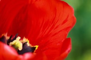 Tulip Cup by sztewe