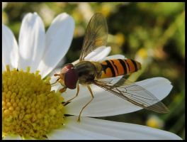 Beautiful hover fly by Pildik