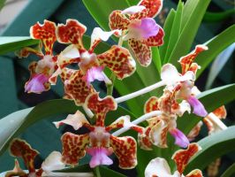 Vanda Tricolor Orchid by Kitteh-Pawz
