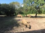 Rhinos at the Ak WDW by WDWParksGal-Stock