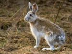 Hare - Changing Coat for Easter by MichelLalonde
