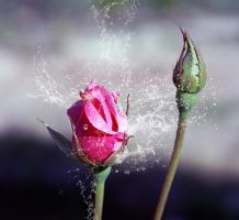 Rose and Water Splashes by gors