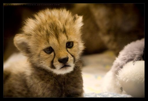 Cheetah Cub: Worried by Flame-of-the-Phoenix
