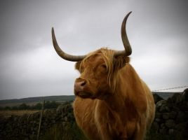 Moody Cow by Lazlowoodbine2010