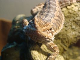 Claire Bearded Dragon Perch 001 by thebizzeebee