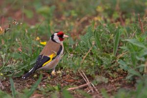 european goldfinch by Ulliart