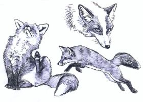 Fox and platinum fox sketches by silvercrossfox