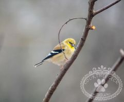 Goldfinch by BamaBelle2012