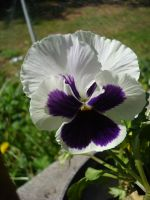 White and Purple Pansy by aragornsparrow