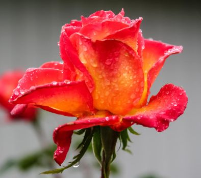Rose In The Rain-1181 by TKBeam