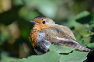 Robin by davemarsh1