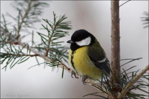 Great tit 2 by Starfall00