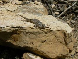 sagebrush lizard 2 by Son-of-Italy