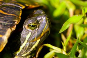 Red-eared slider by DoctorPhrog