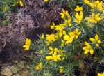 Thorny Yellow II by MysteryProne