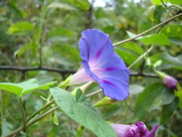 Purpe Morning Glory by aragornsparrow