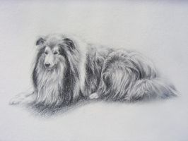 Rough collie by blackbrumby