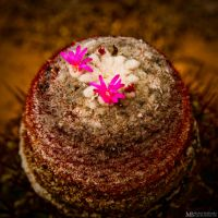 Pink cactus flower by Yupa