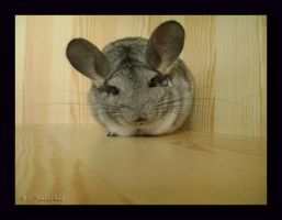 Chinchilla by Tekinka