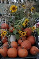 Pumpkins and Sunflowers by FoxStox