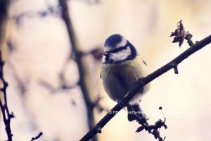 Vintage Blue Tit by UnrehearsedSplendour