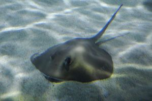 Sting ray by photographyflower