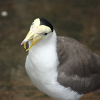 Masked Lapwing by FriendFrog