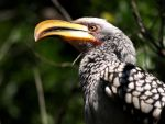 Yellow-billed Hornbill by samboardman