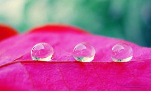 water droplets on soft petal by lindahabiba