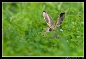 Wild rabbit - Lepre selvatica by zaffonato