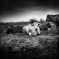 Cows in a meadow by julie-rc