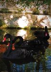 Black Swan by JWabbit
