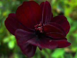 Cosmos Chocolate by WestLothian