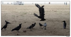 Crow Fight by jadedPhotographer