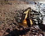 Giant Swallowtail by code10100